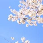 角館の桜 見ごろはいつ?見所は?桜まつりを楽しもう!