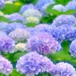 紫陽花の花言葉!良い意味は何がある?色による違いを解説!
