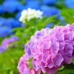 紫陽花の種類ってどんなのがあるの?通販でも買える人気のもの
