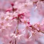 三春の滝桜 見頃をチェックする方法!アクセスや駐車場の情報!