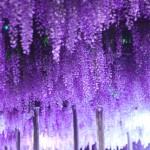 福岡で藤を見よう!藤の花が楽しめる藤園10選!